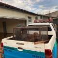 Capivara após ser capturada dentro de motel, em Dourados. Imagem (PMA/Divulgação)